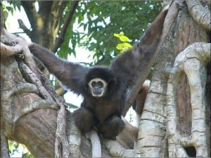 White handed gibbon showing arm length