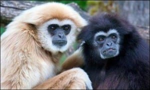 White handed gibbons showing colour morphs