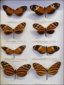 Nymphalidae butterflies