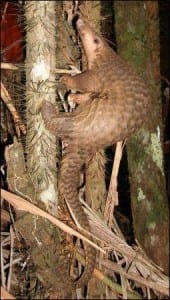 Pangolin from Borneo