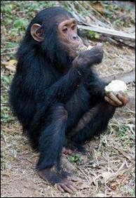 Chimp having some lunch