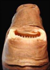 Cookie cutter shark grinning