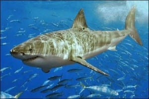 Great White Shark: Carcharodon carcharias
