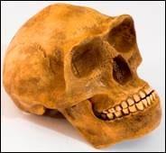 Homo erectus lateral view