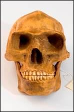 Homo erectus skull anterior view