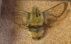 Broad bordered bumblee bee hawkmoth (Hemaris fuciformis) at the Grant Museum. LDUCZ-L1843