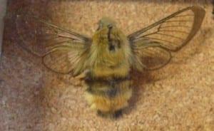 Broad bordered bumblee bee hawkmoth (Hemaris fuciformis) at the Grant Museum. LDUCZ-L1843