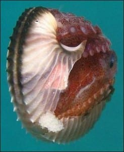 Live Argonauta showing female gripping the shell on the outside