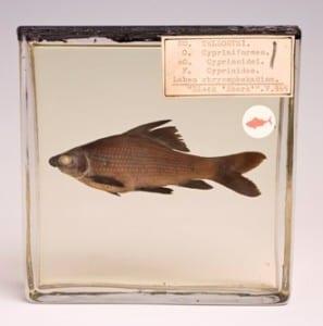 Fish specimen