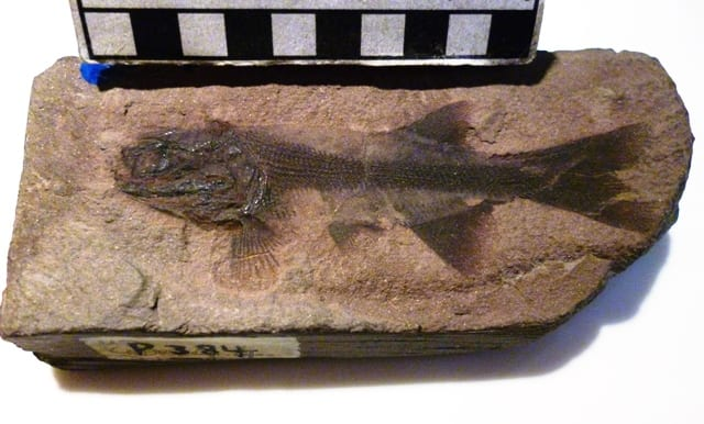 An image of the fossil fish Brookvalia