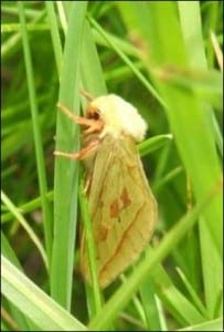 Ghost moth resting amongst the grass