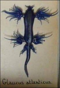 The blue sea slug (Glaucus atlanticus) at the Grant Museum of Zoology. LDUCZ-P173d