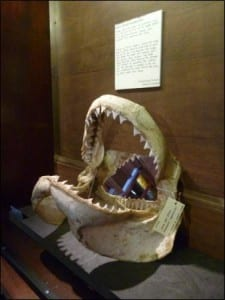 The great white shark jaws in the current exhibition 'I found this...'