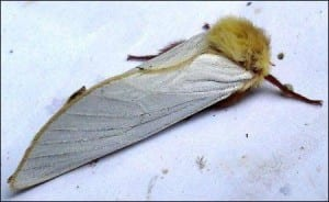 Wild ghost moth