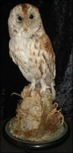 Tawny owl at the Grant Museum of Zoology