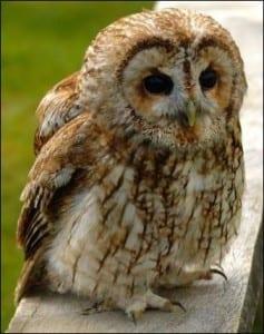 Tawny owl on a fence