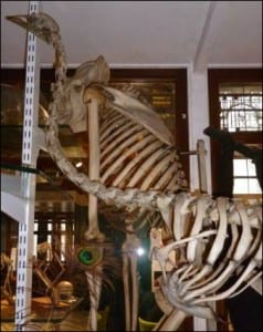 Top of the emu skeleton (<em>Dromaius</br> novaehollandiae sp</em>) at the Grant Museum.</br> LDUCZ-Y9