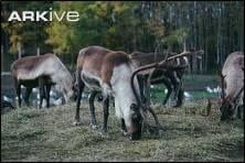 Reindeer. Image taken by Kenneth W. Fink. www.ardea.com
