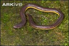 Common yellow-banded caecilian