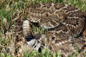 Crotalus atrox by Clinton and Charles Robertson