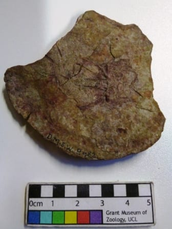 Image of P482 Diplacanthus striatus fossil fish specimen