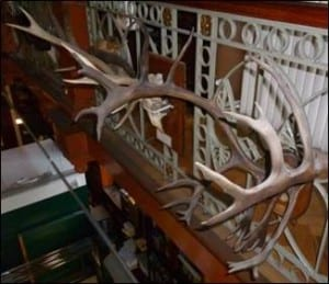 Reindeer antlers at the Grant Museum of Zoology