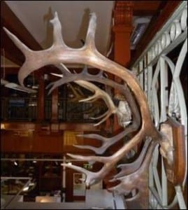 Reindeer antlers hanging in the Grant Museum of Zoology