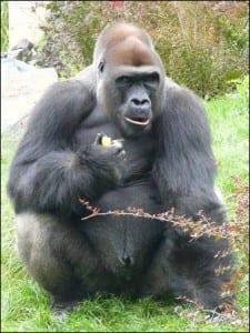 Western lowland gorilla. Image by Pudelek. Taken from http://commons.wikimedia.org/wiki/Western_Gorilla