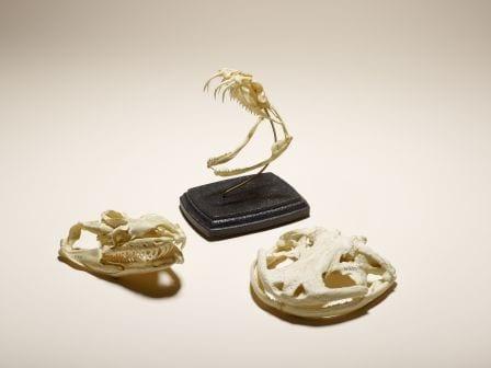 Grant Museum bone clone specimens