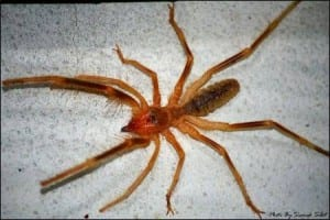 A camel spider. Image taken by Siamak Sabet. Taken from wikimedia Commons