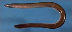 An Atlantic hagfish. (Image taken by Charles Keith, taken from Wikimedia Commons)