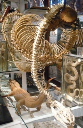 Image of the Grant Museum 'Anaconda skeleton'
