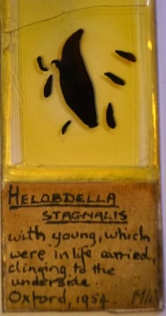 Grant Museum Helobdella  microscope slide labelled Helobdella stagnalis with young, which were in life carried clinging to the Underside. When I saw this my allergies kicked in and I started to cry. My fake allergies.