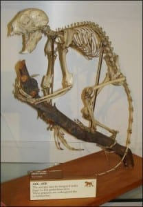 The aye-aye skeleton at the Grant Museum