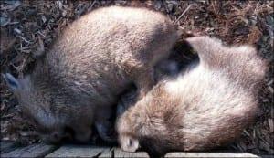 Snuggled up wombats. (Image taken by Emma-Louise Nicholls)