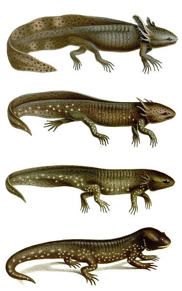 The metamorphosis of the axolotl. (Illustrations by Josèphe Huët. Taken from commons.wikimedia.org)