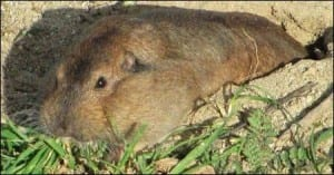 Gopher with full cheek pouches. Image taken by Davefoc. Image taken from www.commons.wikimedia.org
