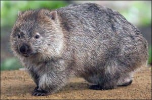 A coarse-haired wombat. Image taken by J. J. Harrison. (Image taken from commons.wikimedia.org)