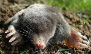 A European (and Russian) mole. (Image taken by Mick E. Talbot. Image taken from commons.wikimedia.org)