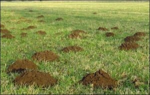A field of mole hills. (Image taken by Karelj. Image taken from commons.wikimedia.org)jpg