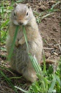 A gopher checking out the surroundings. Image taken by J. Tchagbele. Taken from www.commons.wikimedia.org