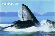 A humpback whale feeding. Image by Francois Gohier (www.ardia.com). Image taken from www.ARKive.org