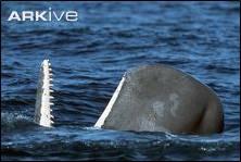 A sperm whale showing off his lovely teeth. Image taken by Michael Nolan (SplashdownDirect.com). Image taken from www.ARKive.org