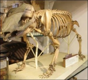 The coarse-haired wombat at the Grant Museum of Zoology. LDUCZ-Z67