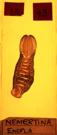 Microscope slide of ribbon worm in section