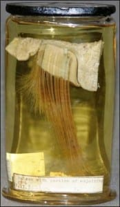Whale baleen at the Grant Museum of Zoology. LDUCZ-Z2253