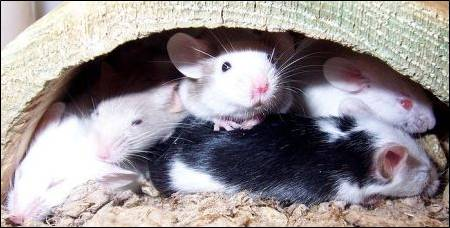 Fancy looking pet mice. (Image taken by Polarqueen. Image taken from commons.wikimedia.org)