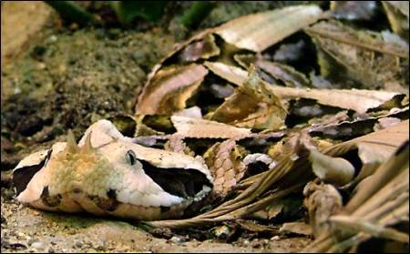 Gaboon viper, showing the horns on the nose. (Image taken by Jannes Pockele. Image taken from commons.wikimedia.org)