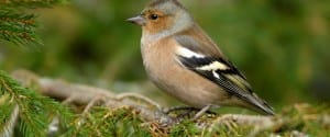Chaffinch, courtesy of: www.rspb.org.uk