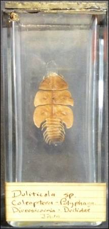 A female trilobite beetle (Duliticola) at the Grant Museum of Zoology. LDUCZ-L200